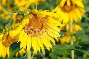 Sunflower IN Macro Stock Photos - FreeImages.com