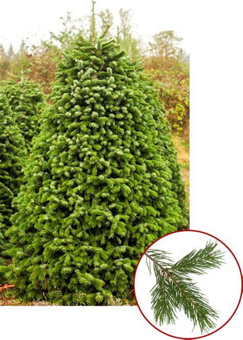 best hypoallergenic christmas trees tree guide