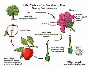 Apple Tree Life Cycle  Flowering Plant