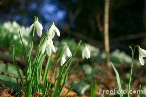 snowdrops images free use snowdrops pictures free use image 12 29 33 by freefoto com