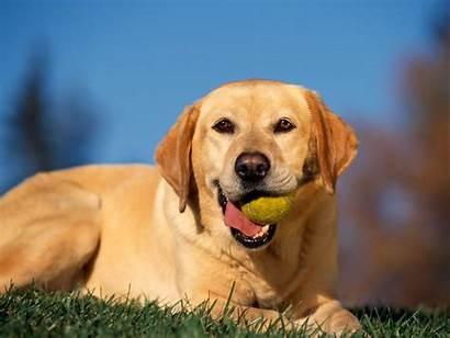 Labrador Retriever Playful Puppies Backgrounds Bing Dogs