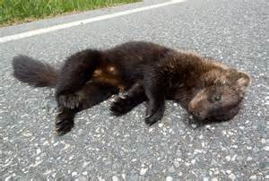 fisher cat images fisher cat randolph vt