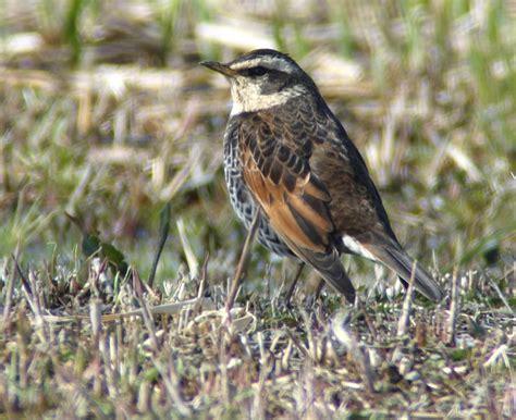 Pallass Reed Bunting Birds Korea Blog
