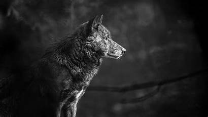 Wolf Wallpapers Gray 4k Grey Timber Pc