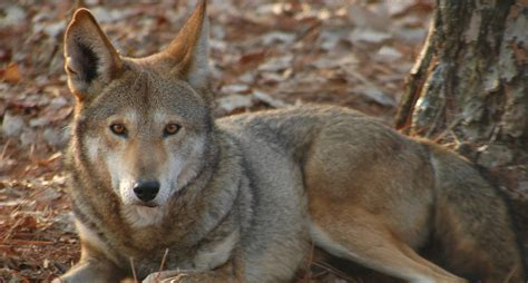 judge stops coyote hunting   nc counties  protect red