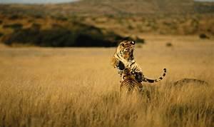 Wild tiger numbers trending upward | Magazine Articles | WWF