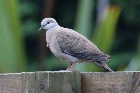 spotted dove  zealand birds