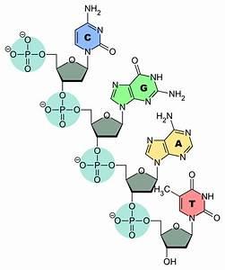 File Dna-nucleobases Svg