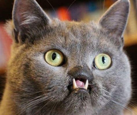 lazarus  cleft palate cat    rescue  vine