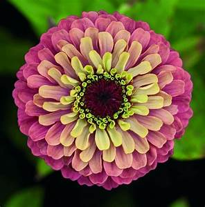 ZINNIA elegans QUEEN RED LIME