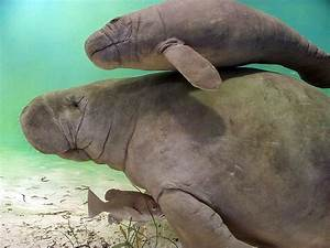 13 Manatee Facts