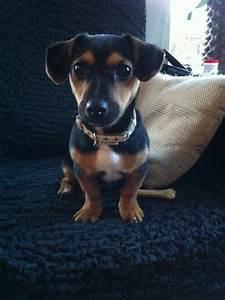 17 Best images about Hunt Terrier's (Black/Tan Jack ...