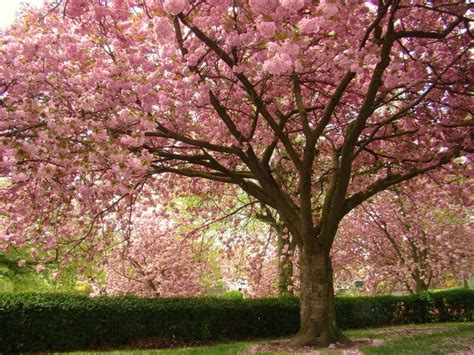 cherry shrub varieties flowering cherry tree varieties nz pictures reference