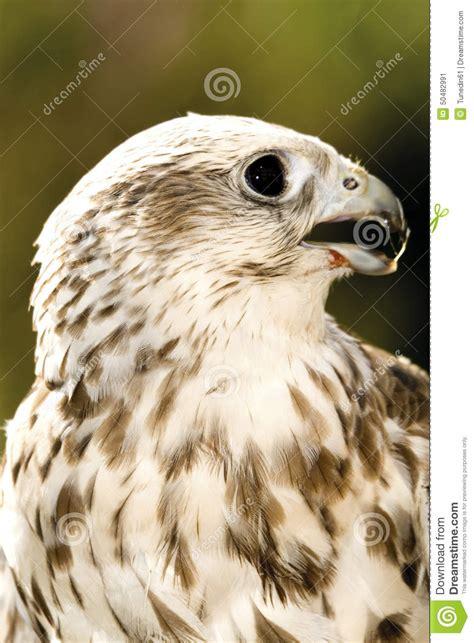 de breuyn köln l allemagne k 195 182 ln faucon de saker dans le zoo photo stock image 50482991