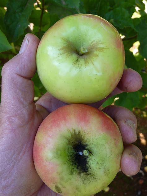 New Zealand Apple's Envy