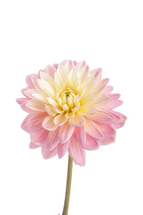 light pink flowers and light pink dahlia flowers dahlias types of