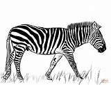 Zebra Coloring Pages Printable Drawing Dot Nata Colorings Paper Categories sketch template