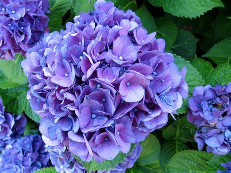 purple hydrangea purple hydrangea lex equine galleries digital photography review