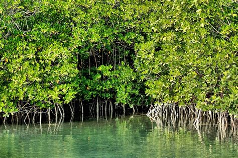 Bahama Bob's Rumstyles Mangroves The Ecosystem