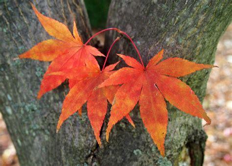 maple leaves japan fall foliage friday bird brains dog tales