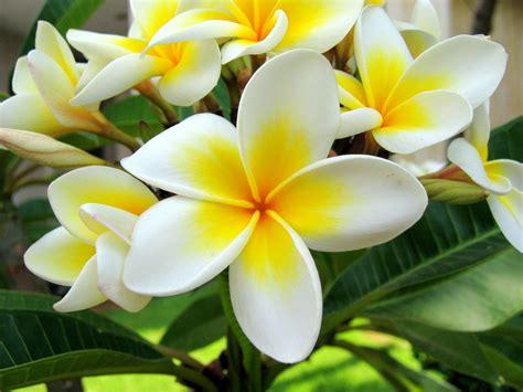 gambar jenis jenis bunga kamboja manfaat