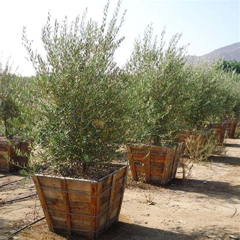 wilson olive tree semi fruitless olive multi trunk budget plants
