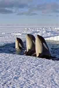 Orca Killer Whale Spy Hopping