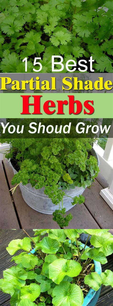 sun herbs 5 partial shade herbs you can grow balcony garden web