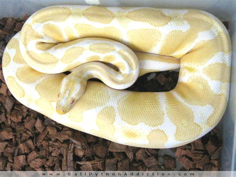 quest for the perfect substrate ball python addiction