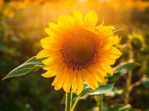dix park sunflower field   july  raleigh nc patch