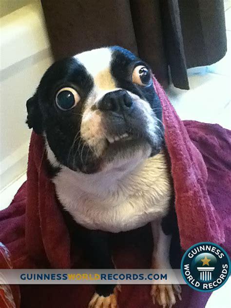 dog  largest eyes claims guinness world record neatorama