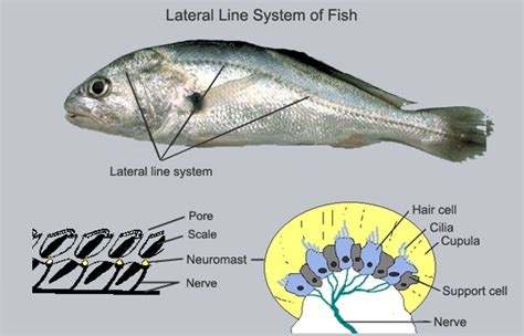can vegetarians eat fish can vegetarians eat fish