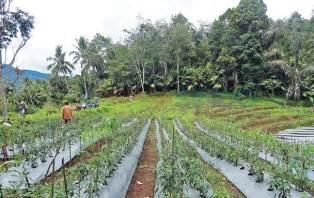 pengembangan tanaman hortikultura mandailing natal