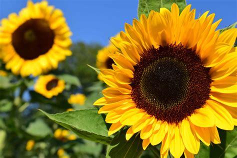 gratis billede solsikke blomst felt sommer landbrug