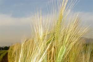 Diagram Of Barley Plant