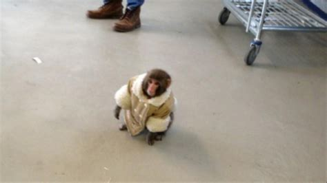 Three Years After His Brush With Fame, The Ikea Monkey Is