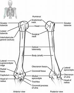 This Diagram Shows The Bones Of The Upper Arm And The