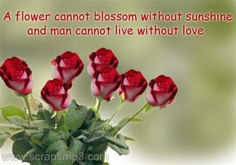 rose flower rose flower images  quotes