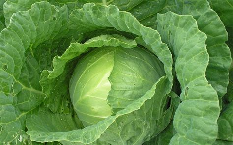 What Can Cabbage Leaves Heal Instiks