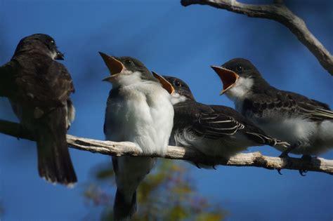 Kingbird family - Birds and Blooms
