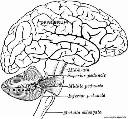 Brain Coloring Anatomy Printable Worksheets Human Diagram