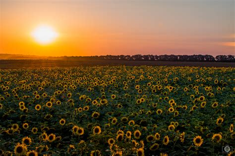 sunset  sunflower field background high quality