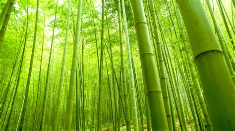 pictures of bamboo trees bamboo wallpapers best wallpapers