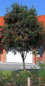 Eberesche Im Garten : welchen heimischen laubbaum im kleinen garten mein sch ner garten forum ~ Yasmunasinghe.com Haus und Dekorationen