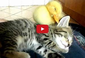 Sleepy Time for Kitten and Duckling