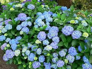 Hydrangea Macrophylla Winterhart : hydrangea macrophylla 39 blauer prinz 39 blauer prinz ~ Michelbontemps.com Haus und Dekorationen