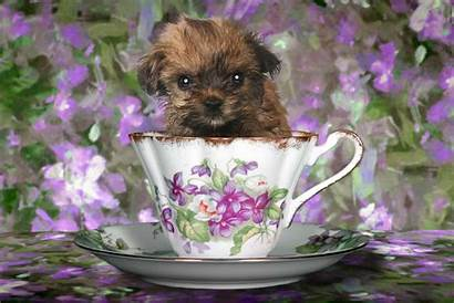 Teacup Yorkshire Puppy Terrier Yorkie Adorable Background