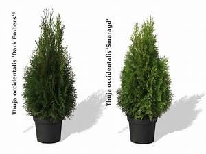 Langsam Wachsende Hecke : lebensbaum hecke pflanzen abstand lebensbaum hecke thuja smaragd 1 pflanze g nstig online ~ Orissabook.com Haus und Dekorationen
