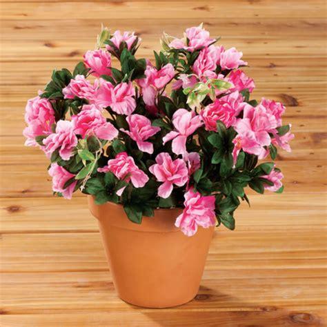 azaleas in pots care potted azaleas care mots cl 233 s potted azaleas care longue queue mots cl 233 s