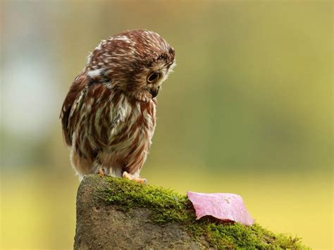 Owl Wallpapers by Wallpaper Owl